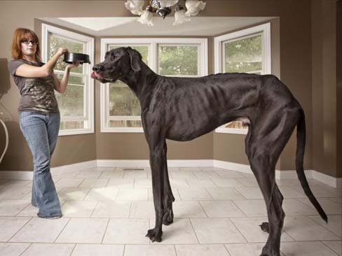 Zeus el perro más grande del mundo